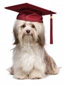 Beautiful proud graduation chocolate havanese dog with red cap isolated on white background poster