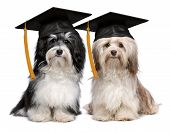 A pair of proud graduation havanese dogs with cap isolated on white background poster