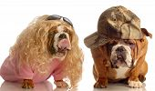 funny english bulldog couple dressed up as a blonde girl and a dude boy poster