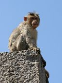 Monkey sits on a stone near old town Hampi poster