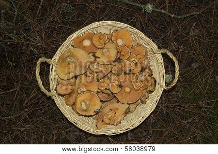Red pine mushroom, Lactarius deliciosus