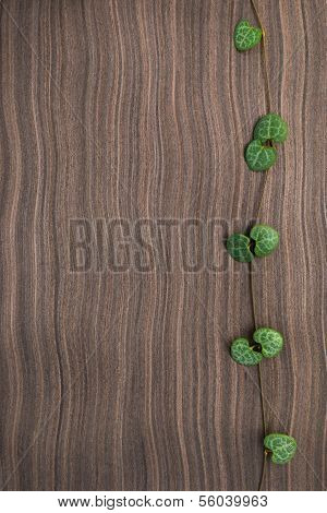 Branch Frame Of Ceropegia Woodii On Ebony Wood Texture