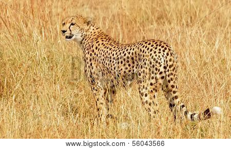 KENYA - MARCH 4: An African Cheetah (Acinonyx jubatus) on the Masai Mara National Reserve safari in southwestern Kenya.