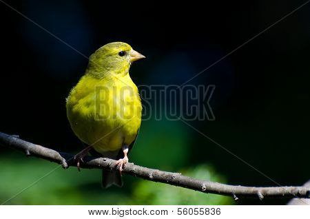 Female American Goldfinch Against A Green Background