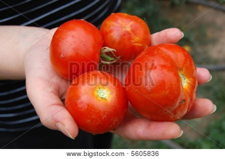 Fresh tomato from the harvest