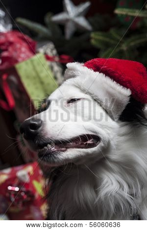 A Cute Australian Shepherd In Front Of A Christmas Tree With A Santa Hat