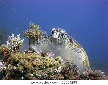 A hawksbill turtle meal