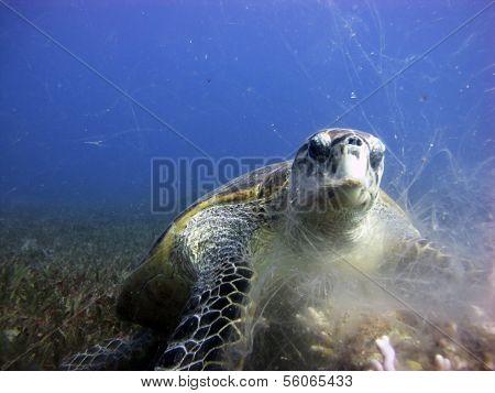 Male hawksbill turtle