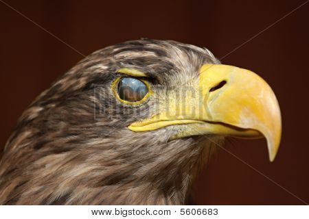 Eyewink, Sea Eagle (haliaeetus Albicilla)