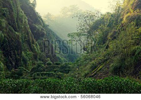 Tea plantation in Fujian Province, China