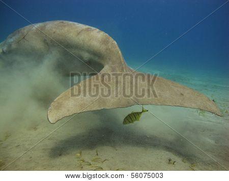 Dugong tail