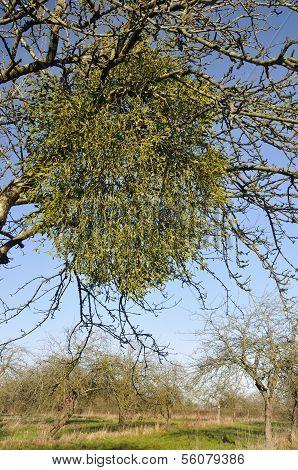Mistletoe in old Apple Tree