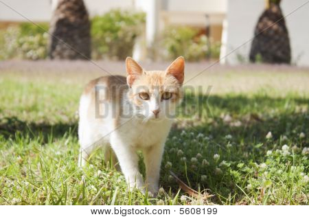 Red white cat standing in grass looking at viewer. Frontal view. poster