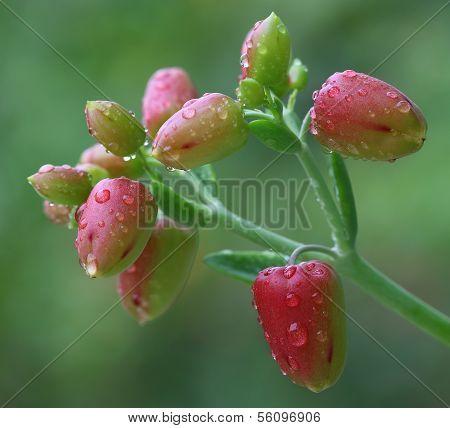 Herbal Kalanchoe Flowers