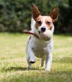 A playful Jack Russell terrier with a ball in her mouth wanting to play poster
