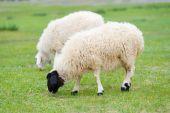 pair of sheep grazing at green pasture poster