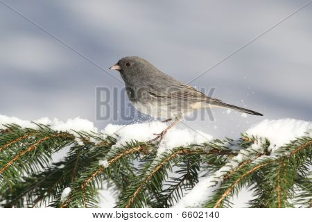 Dark-eyed Junco (junco hyemalis) on a snow-covered branch poster
