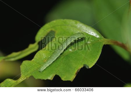 Brimstone Butterfly Caterpillar