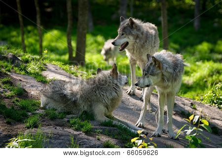 Wolf Pack Of Three Wolves