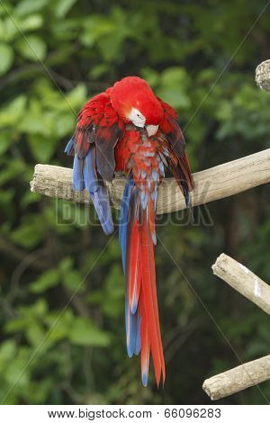 Scarlet Macaw bird preens its feathers