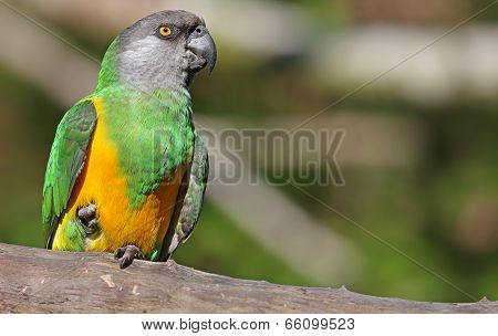 Close-up view of a Senegal Parrot
