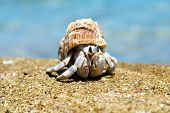 Hermit Crab in a screw shell poster