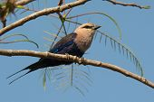 A Blue-Bellied Roller (Coracias cyanogaster) perched on a branch poster