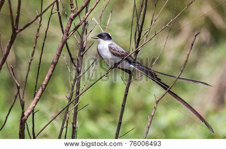 Fork-tailed Flycatcher In Esteros Del Ibera Wetland