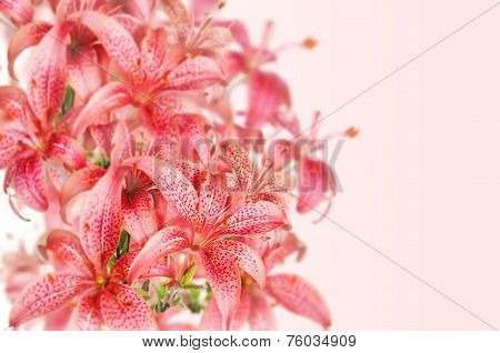 Pink Flowers Lilia