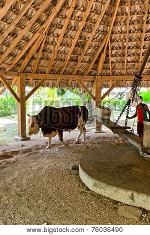 LA DIGUE, SEYCHELLES - 21 OCTOBER 2014 - Ox driving the milling equpiment to extract coconut oil from the dried copra at the l'Union Estate on La Digue Seychelles watched by a handler, 21 October 2014