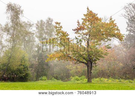 Lonely Oak In Fog