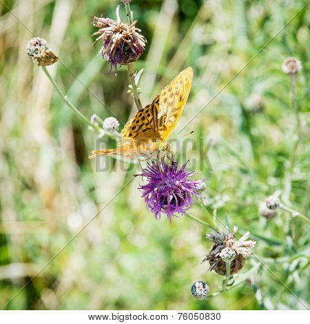 Twin-spot Fritillary (brenthis Hecate)