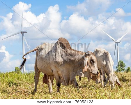 Cows grazing on pasture next to windmill farm with cloudy blue sky background near wind electricity plant in Korat province Thailand. poster