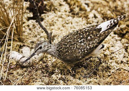 Snipe Wading Bird