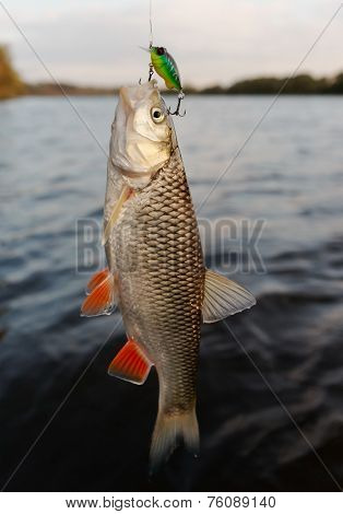 Chub caught on a plastic bait, autumn scenics