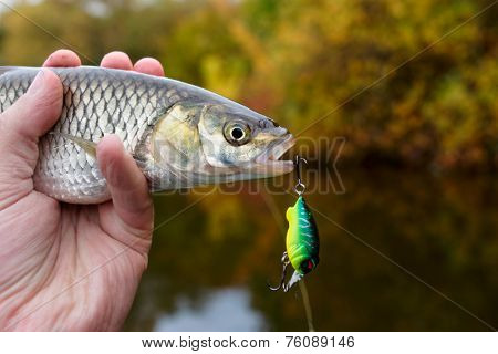 Chub with plastic bait in mouth, copy space