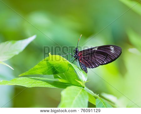 Red Postman butterfly Heliconius Erato Notabilis in green leaf outdoor