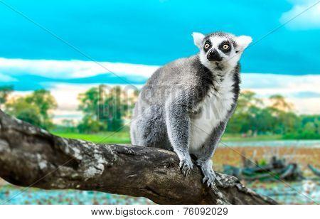 Ring-Tailed Lemur (Lemur Catta) in the nature