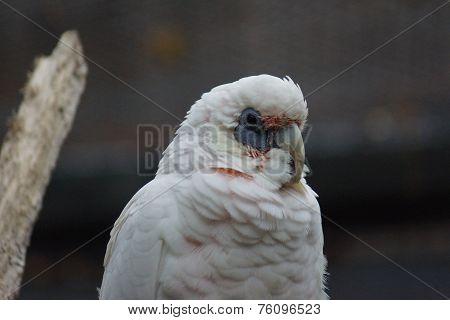 A wild white Slender-billed Corella - Cacatua tenuirostris poster