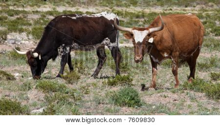 Two Longhorns grazing in a pasture in Texas poster
