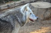 A photo taken of a female timber wofl in Colchester Zoo poster
