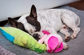 French bulldog puppy sleeping on the pillow poster