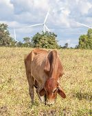 The cow in farmland is grazing next to windmill farm on a bright sunny day near wind power plant in Thailand. poster