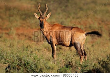 A red hartebeest (Alcelaphus buselaphus) in natural habitat, South Africa