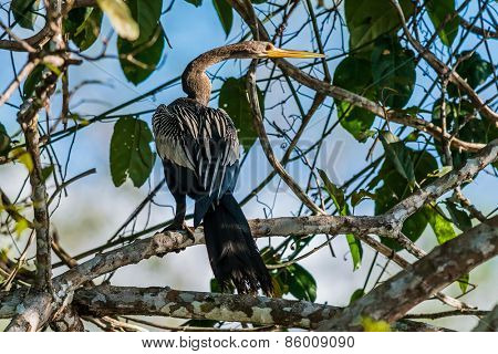 Anhinga standin on branch in the peruvian Amazon jungle at Madre de Dios Peru poster