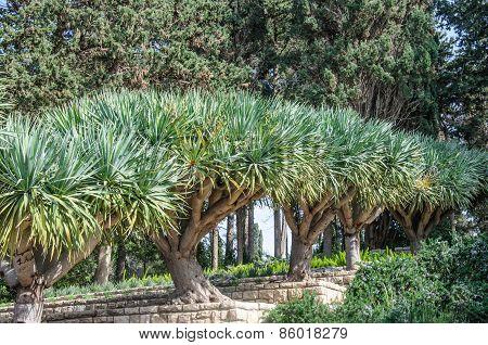 Row Of Trees In Gardens Of Baron Edmond De Rothschild (national Park Ramat Hanadiv). Israel.