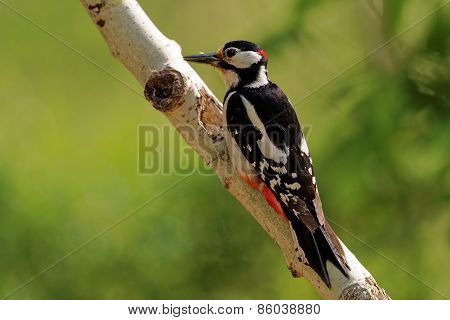 Male Of Great Spotted Woodpecker Sitting On Birch