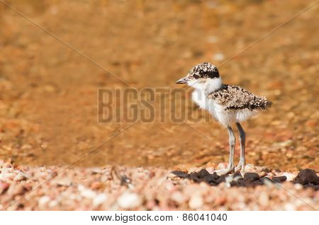 Plover Chick At Water
