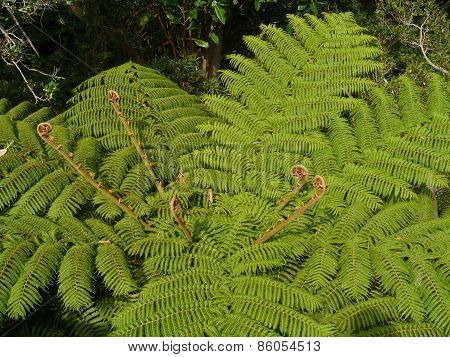 New shoots in a soft tree fern (dicksonia antartica) poster