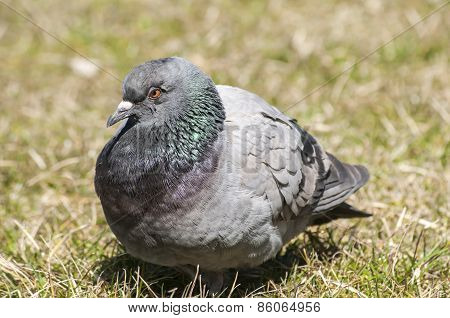 Rock feral pigeon dove closeup resting on winter green grass meadow poster